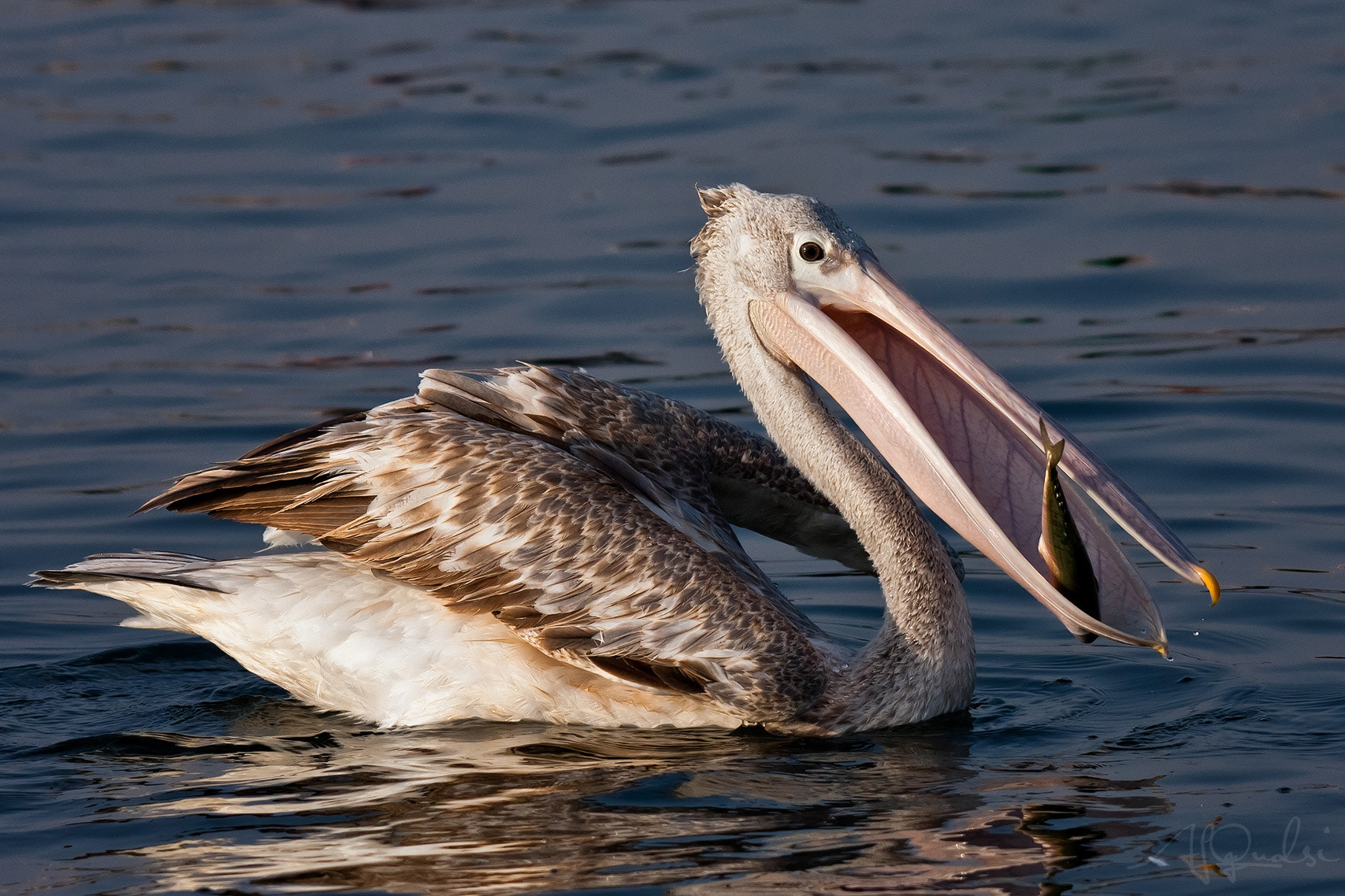 Photograph Gold Meal (Pink-backed Pelican)  by Ali Alqudsi on 500px