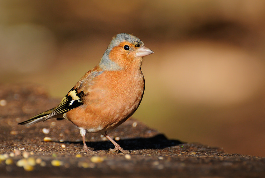 Photograph -Chaffinch- by Bart Hoga on 500px