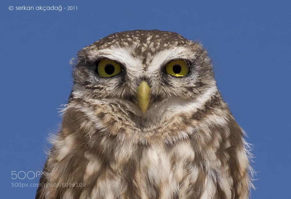 Photograph Kukumav / Little owl / Athene noctua by Serkan Akçadağ on 500px