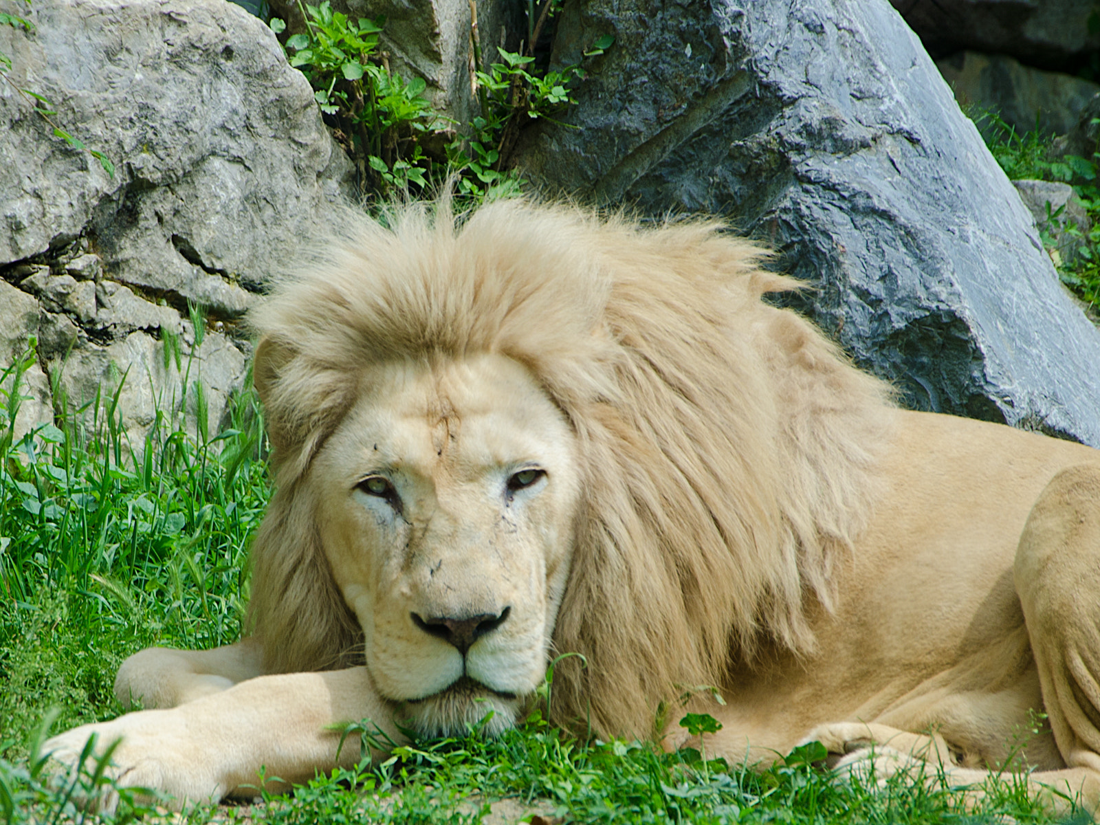 Photograph Lion by Nick L. on 500px