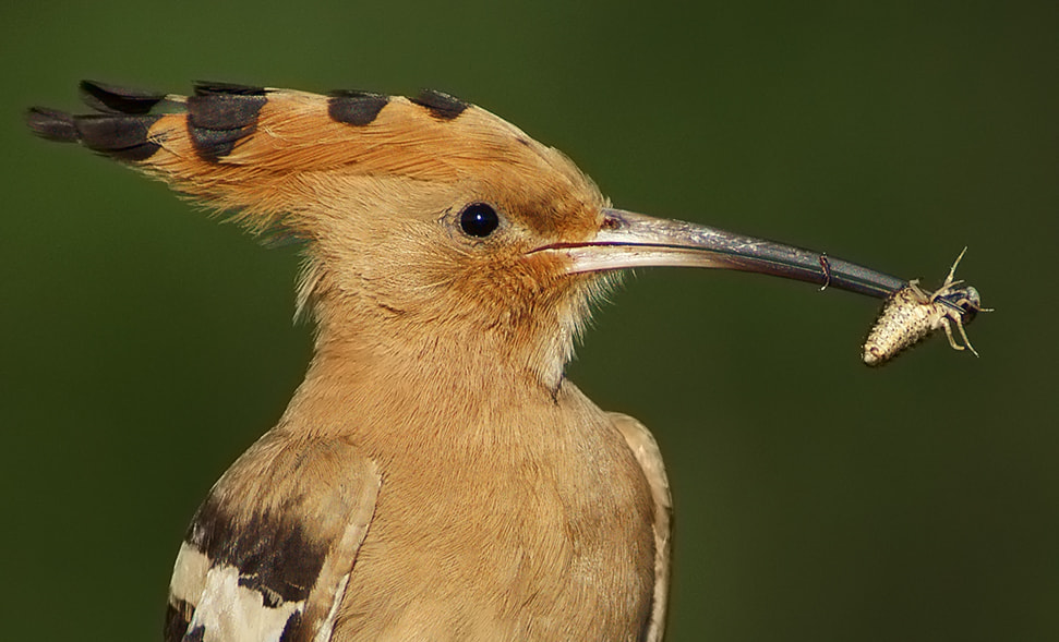 Photograph portrait: hoopoe by Miklos Liziczai on 500px