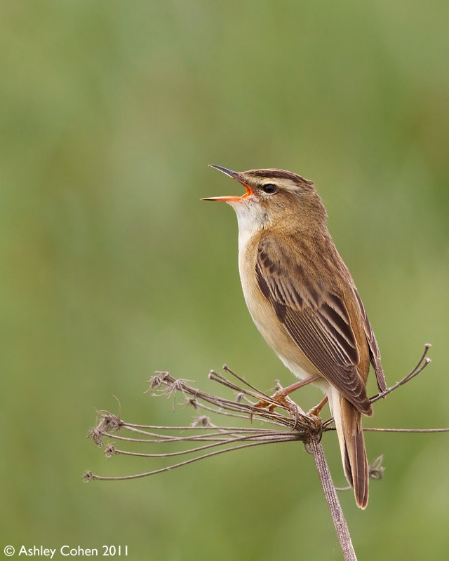 Photograph Sedge Warbler - I'll Sing Where I Want! by Ashley Cohen on 500px