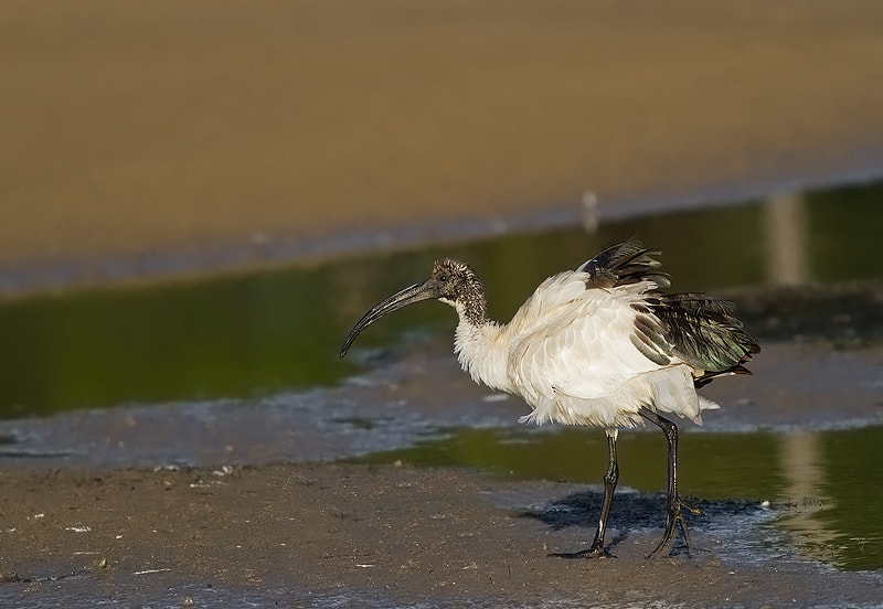Photograph Sacred Ibis by Jacques de Klerk on 500px