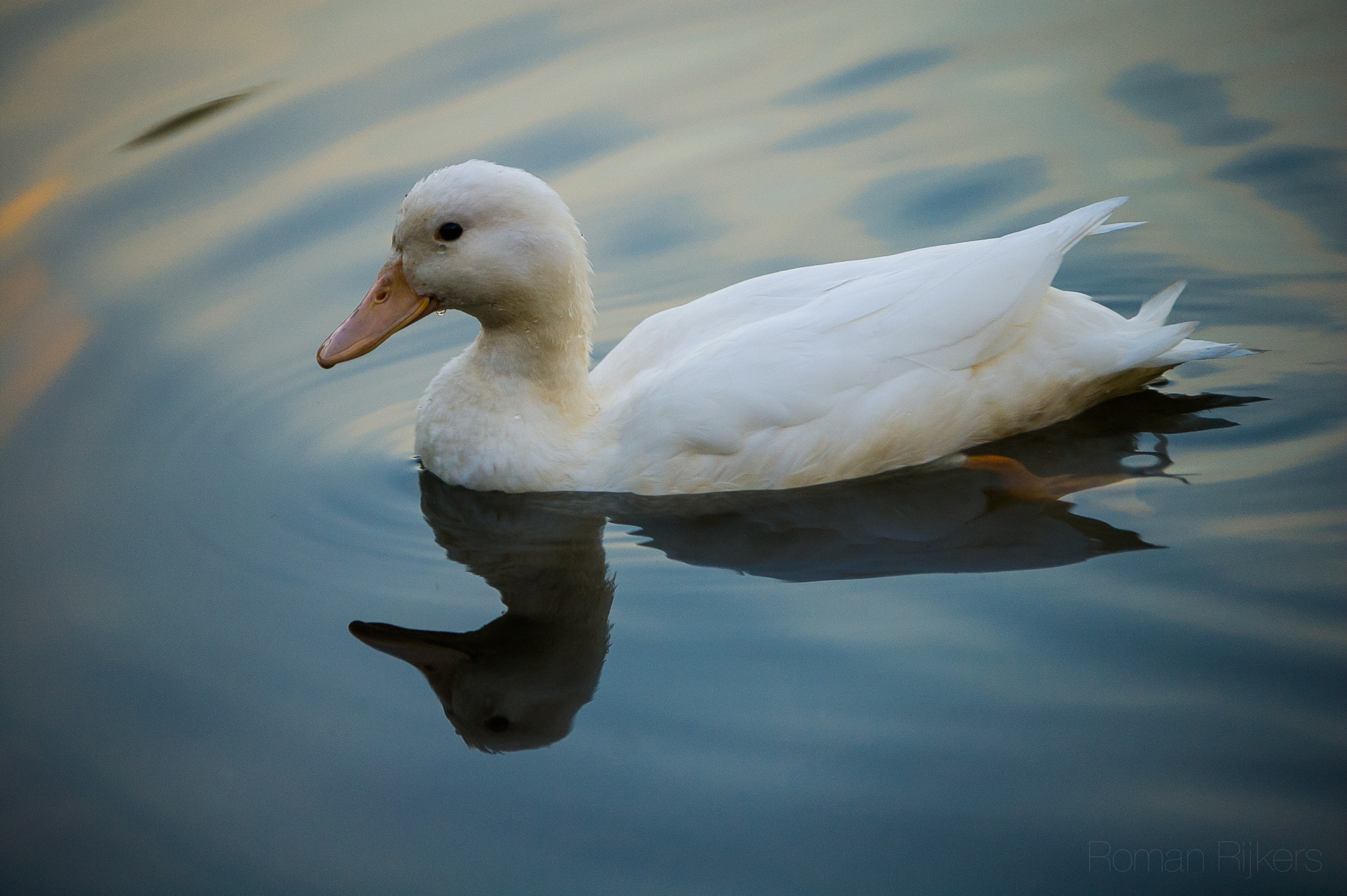 Photograph White duck by Roman Rijkers on 500px