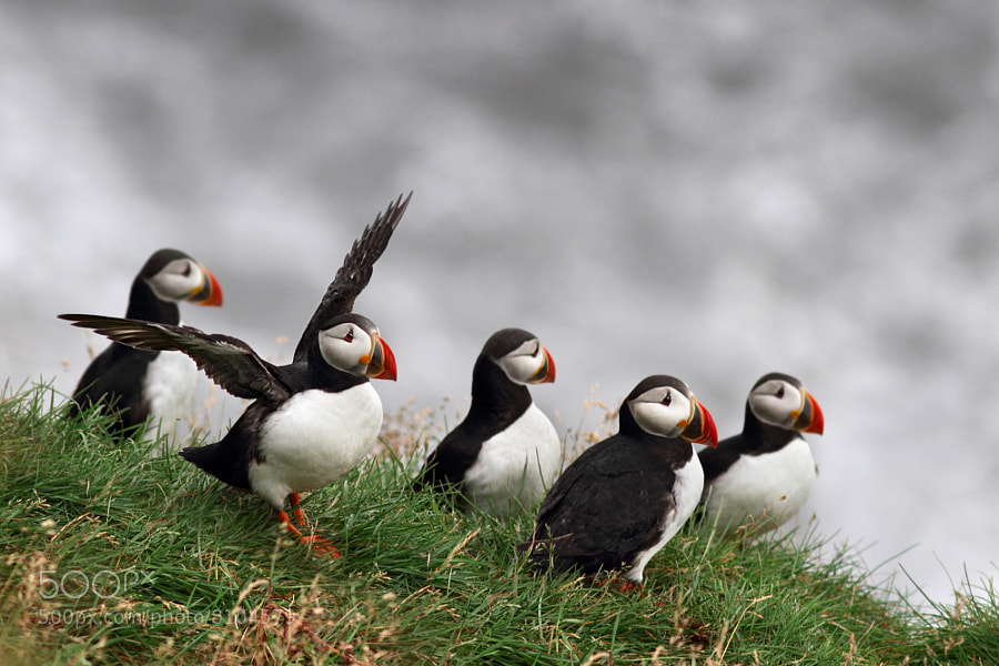 Photograph Puffins! by Marco Gaiotti on 500px