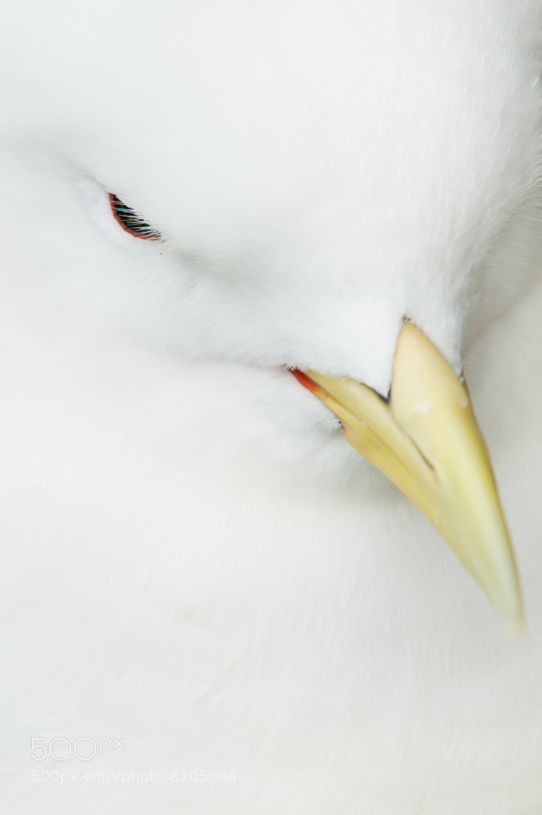 Photograph Kittiwake Close Up by Gower Photography on 500px
