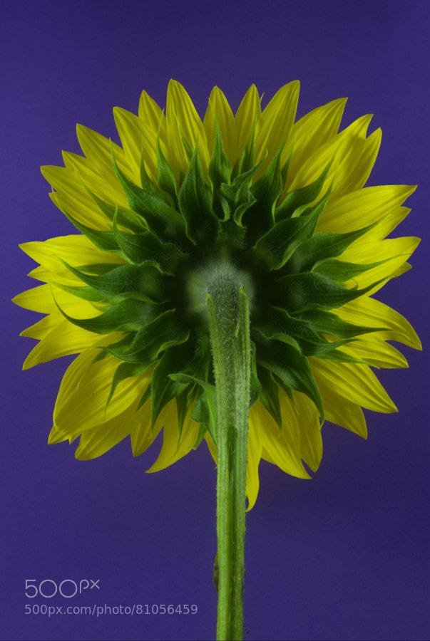 Sunflower bottom