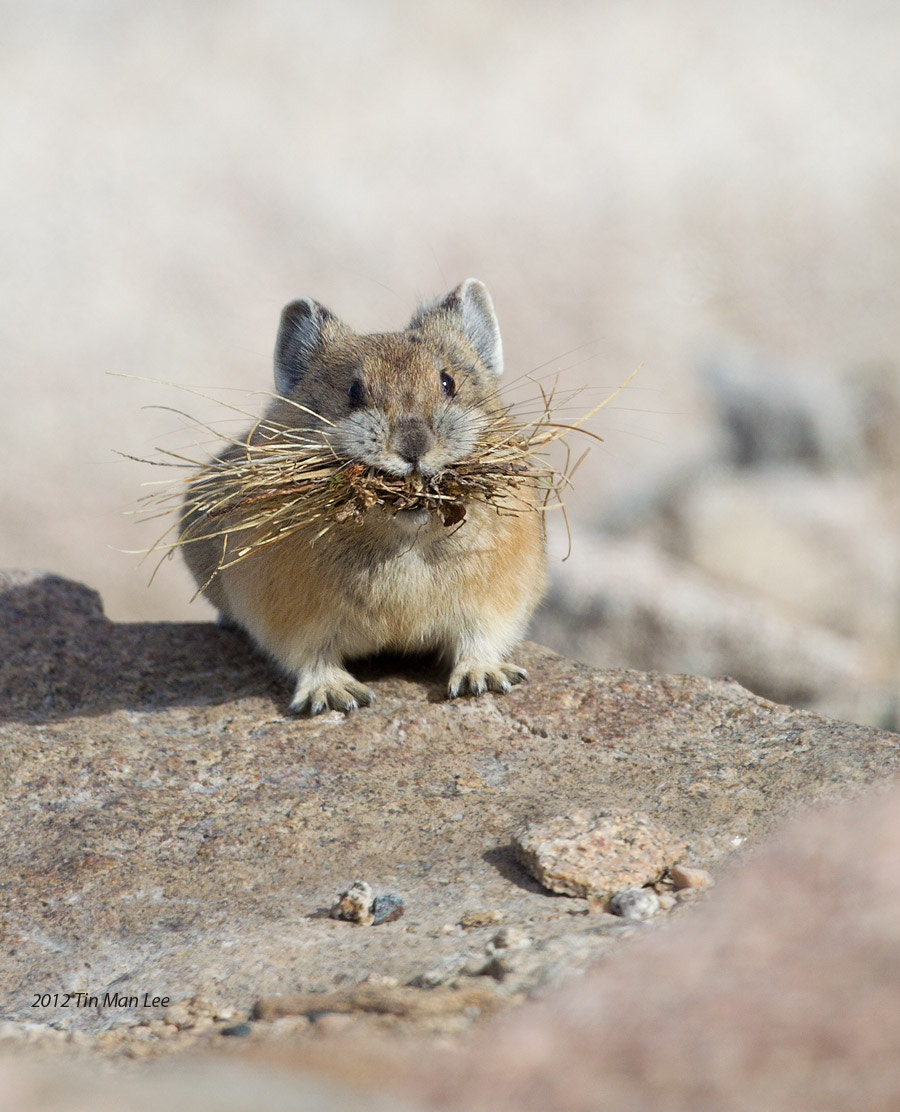 Photograph Pika with Nesting Material by Tin Man on 500px