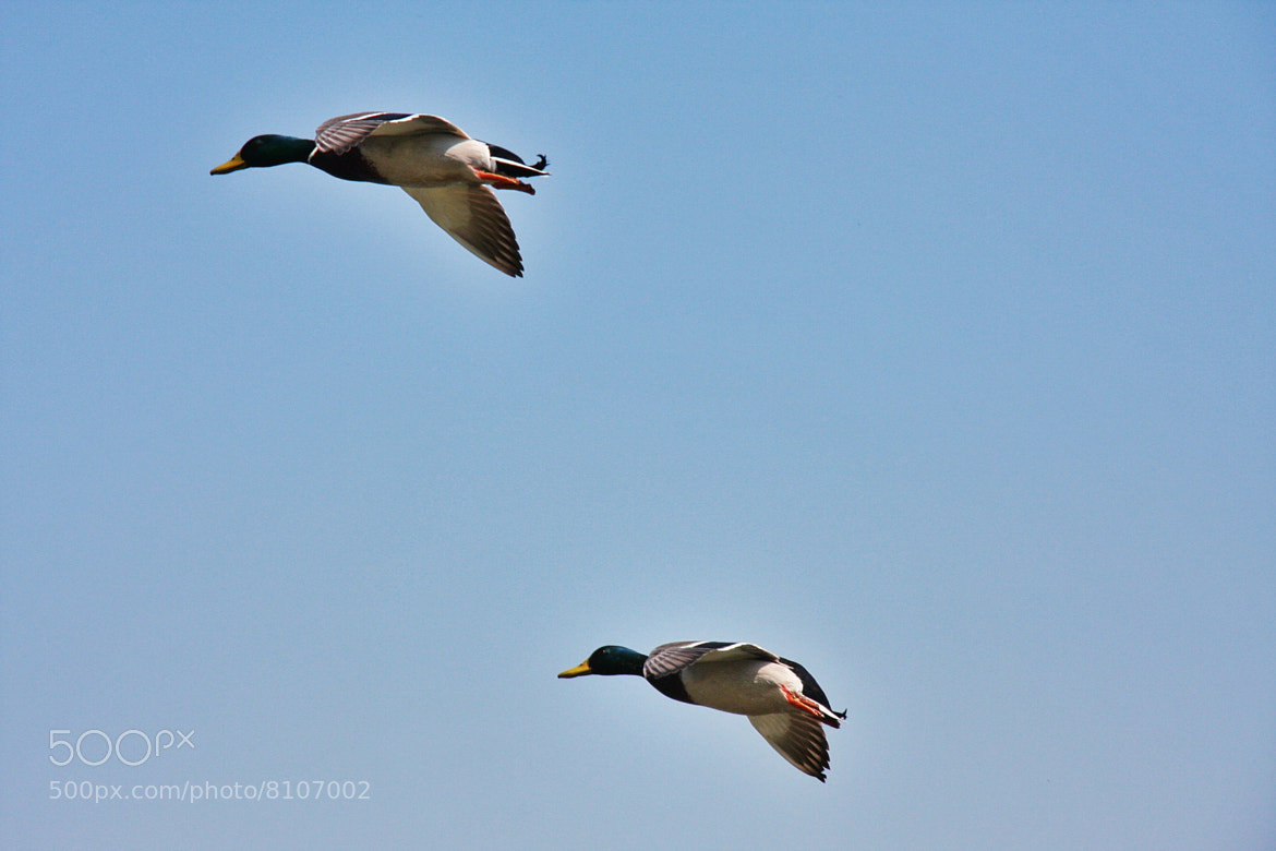 Photograph Ducks in Flight by Adrian Warrillow on 500px
