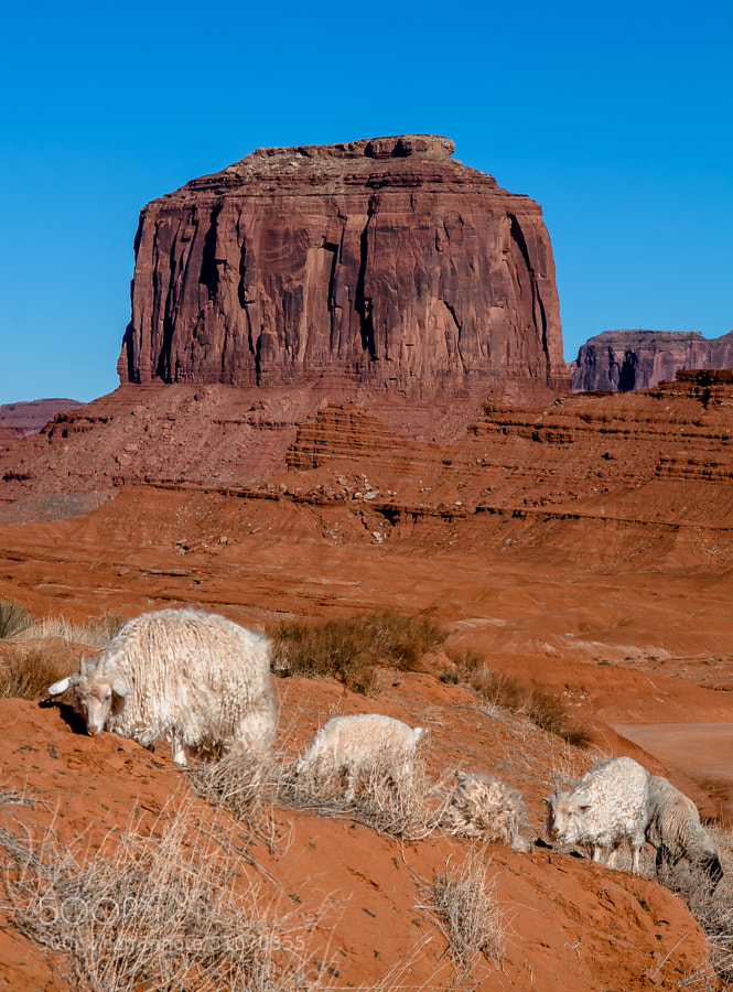 Photograph Shearing Season - Monument Valley by Pat Kofahl on 500px