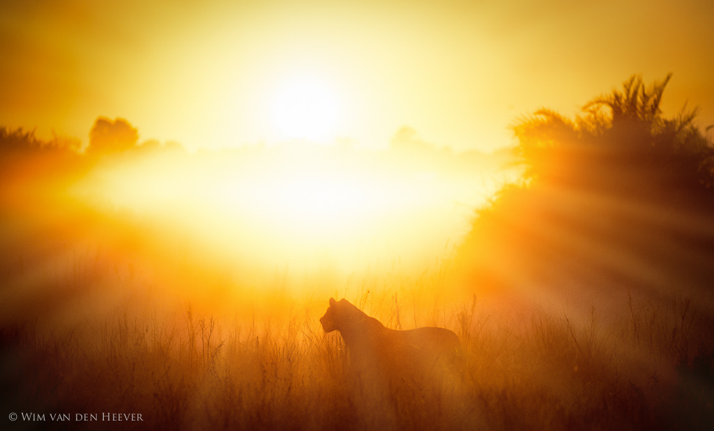 Photograph Lion in the mist by Wim van den Heever on 500px