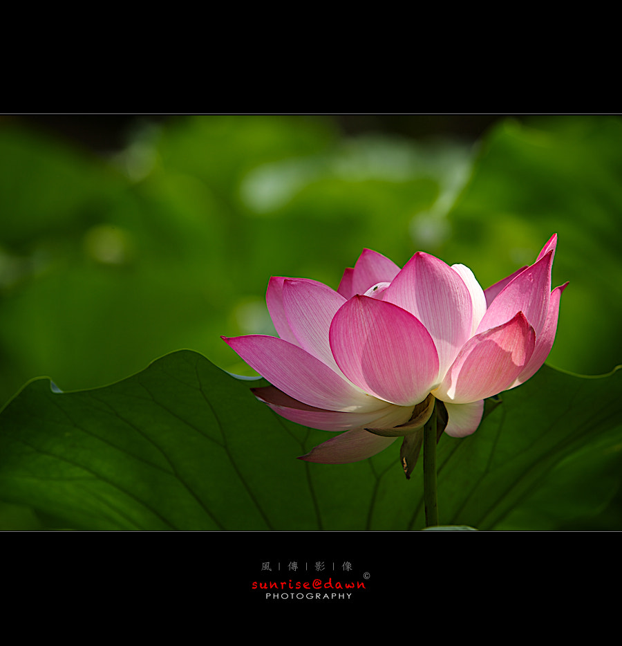 Photograph lotus by SUNRISE@DAWN photography 風傳影像 on 500px