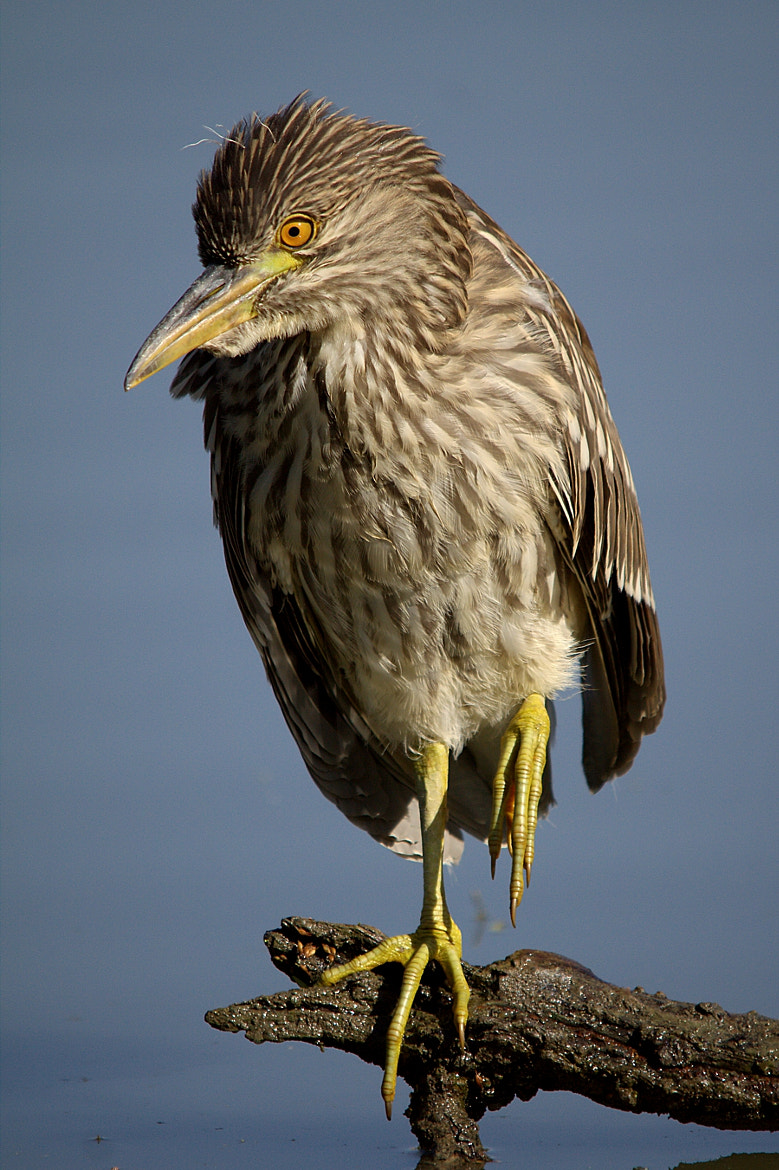 Photograph Night Heron by Christopher Payne on 500px