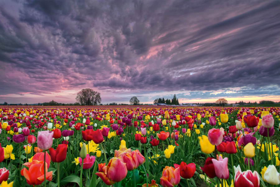Sunset Over Tulip Field by David Gn on 500px.com
