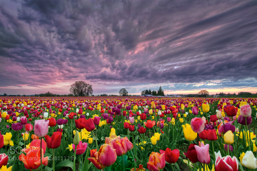 Sunset Over Tulip Field by David Gn (Davidgn)) on 500px.com