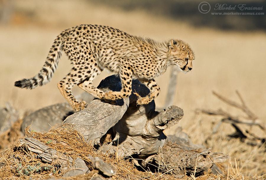 Photograph Cheetah Hurdles by Morkel Erasmus on 500px