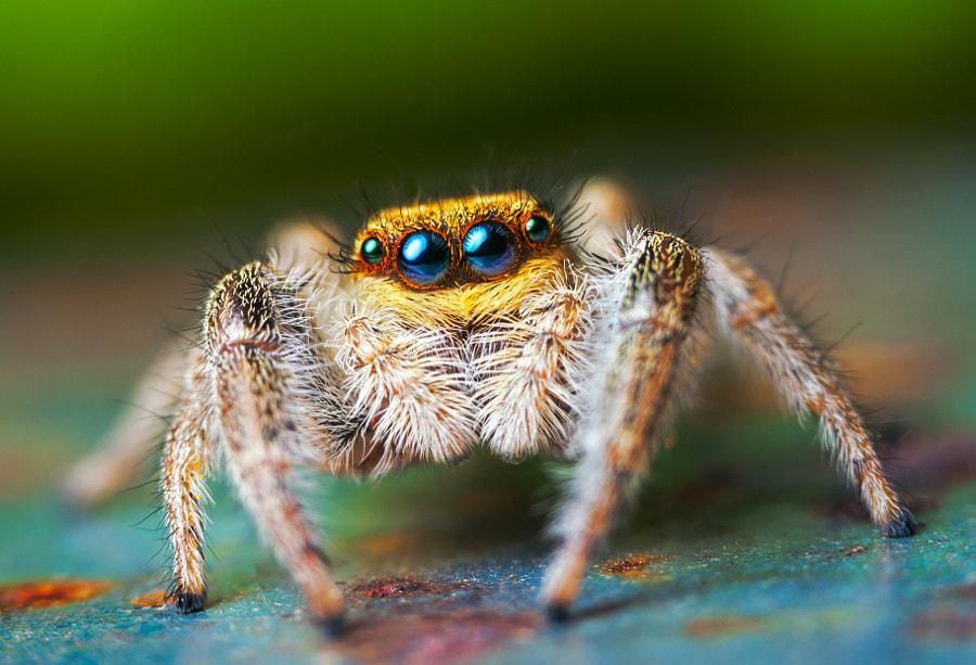 Jumping spider - Marpissa radiata by Lukas Jonaitis on 500px.com