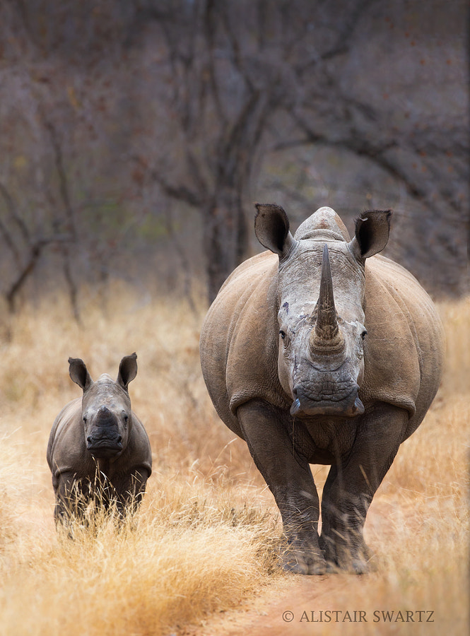 Mother and Calf by Alistair Swartz on 500px.com