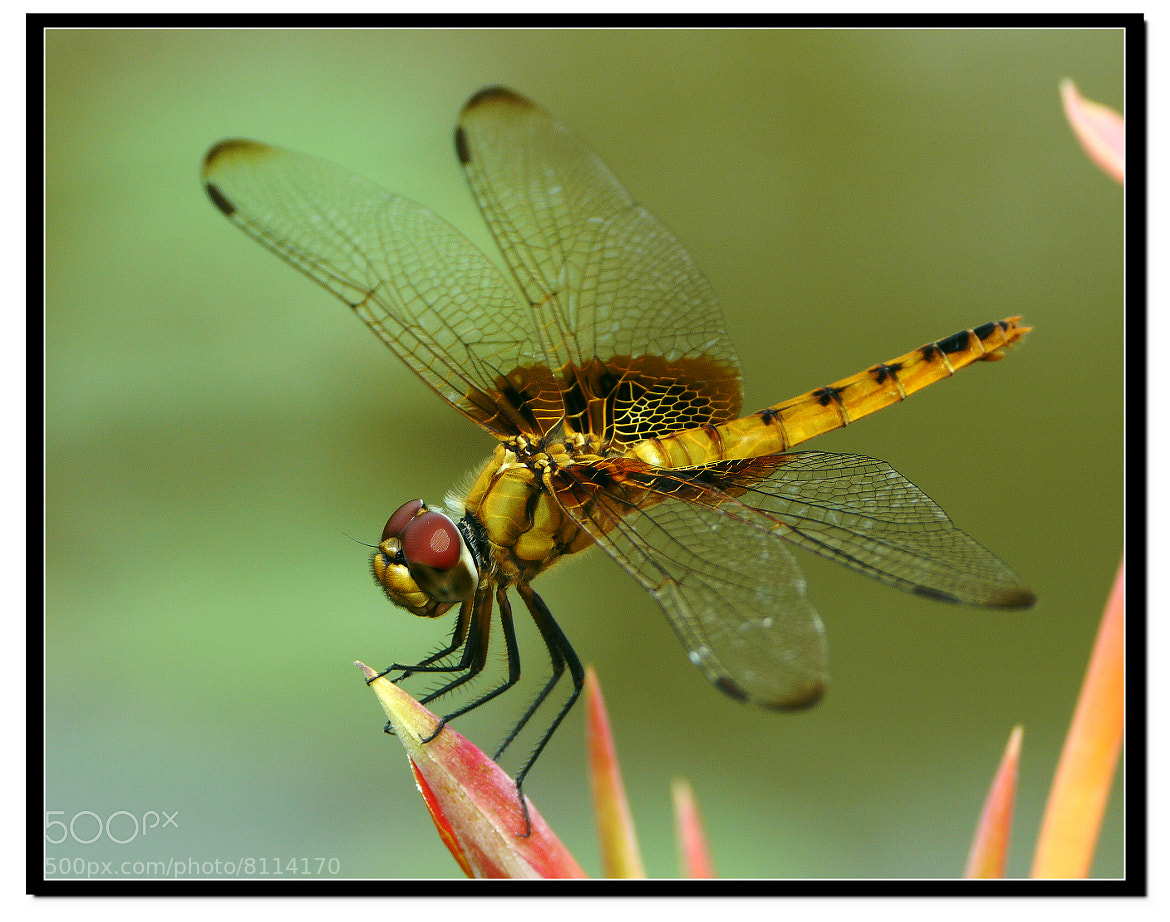 Photograph Beautiful Yellow Dragonfly by Sherman C. on 500px