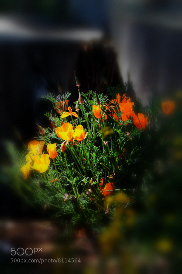 Photograph California Poppy Bouquet  by Todd Livermore on 500px