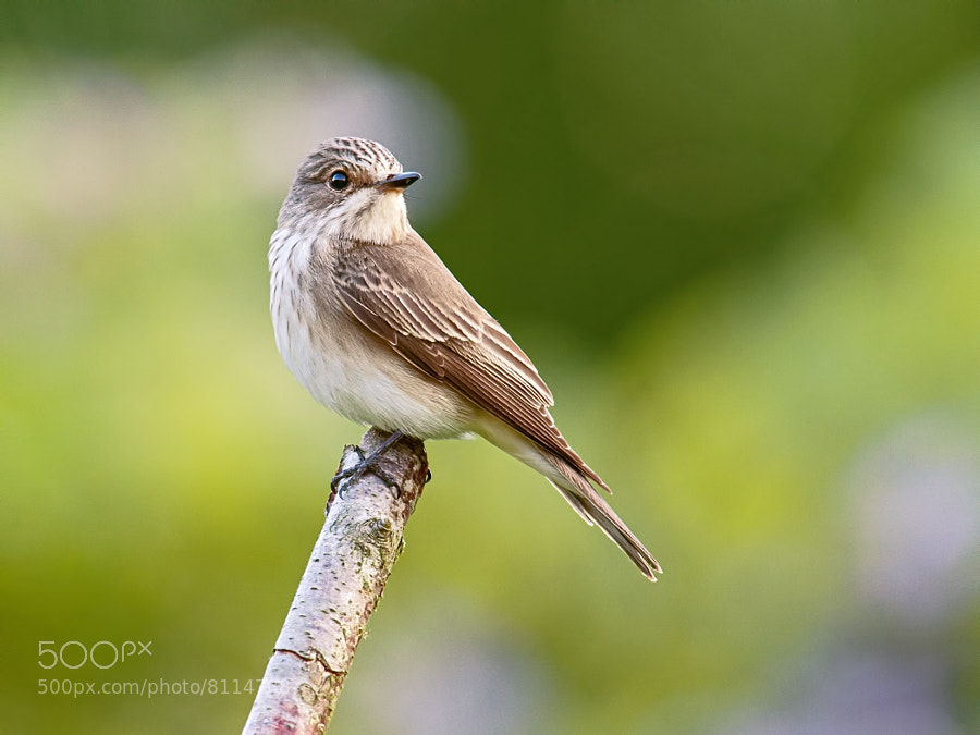 Photograph Female Spotted Flycatcher (Muscicapa striata) by Sylvia Fresson on 500px
