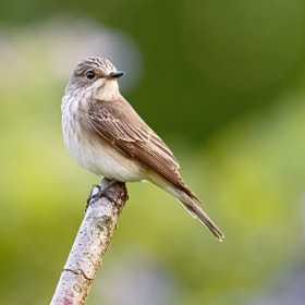 Female Spotted Flycatcher (Muscicapa striata) by Sylvia Fresson (teocali)) on 500px.com