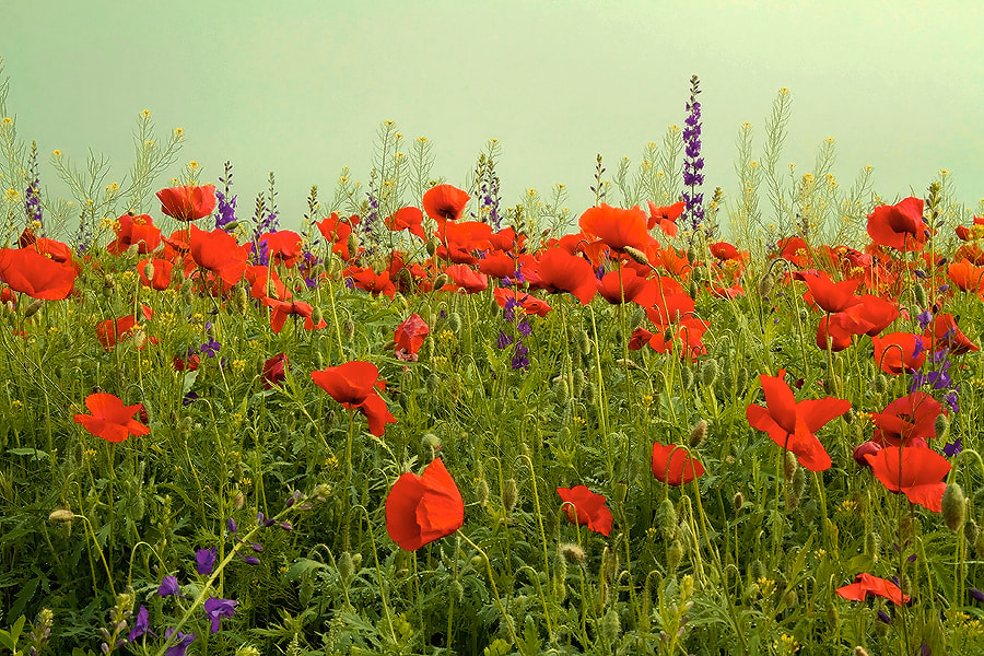 Photograph weekend with poppies by Doina Russu on 500px