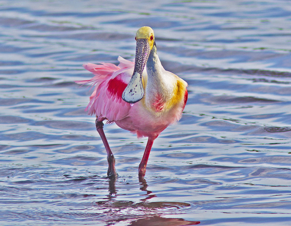 Photograph Roseatte Spoonbill by Bill Weaver on 500px