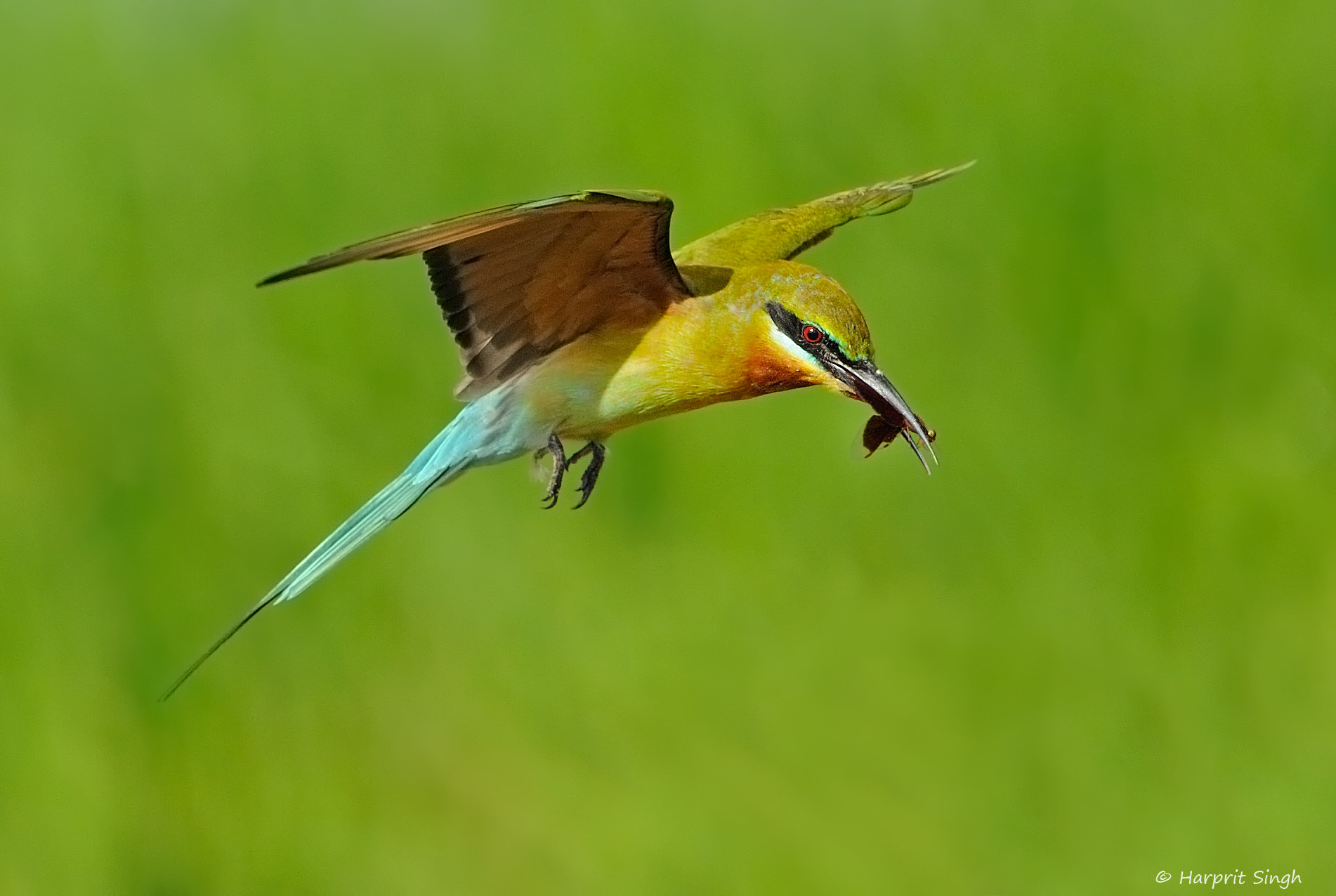 Photograph Blue-tailed Bee-eater with a catch by Harprit Singh on 500px