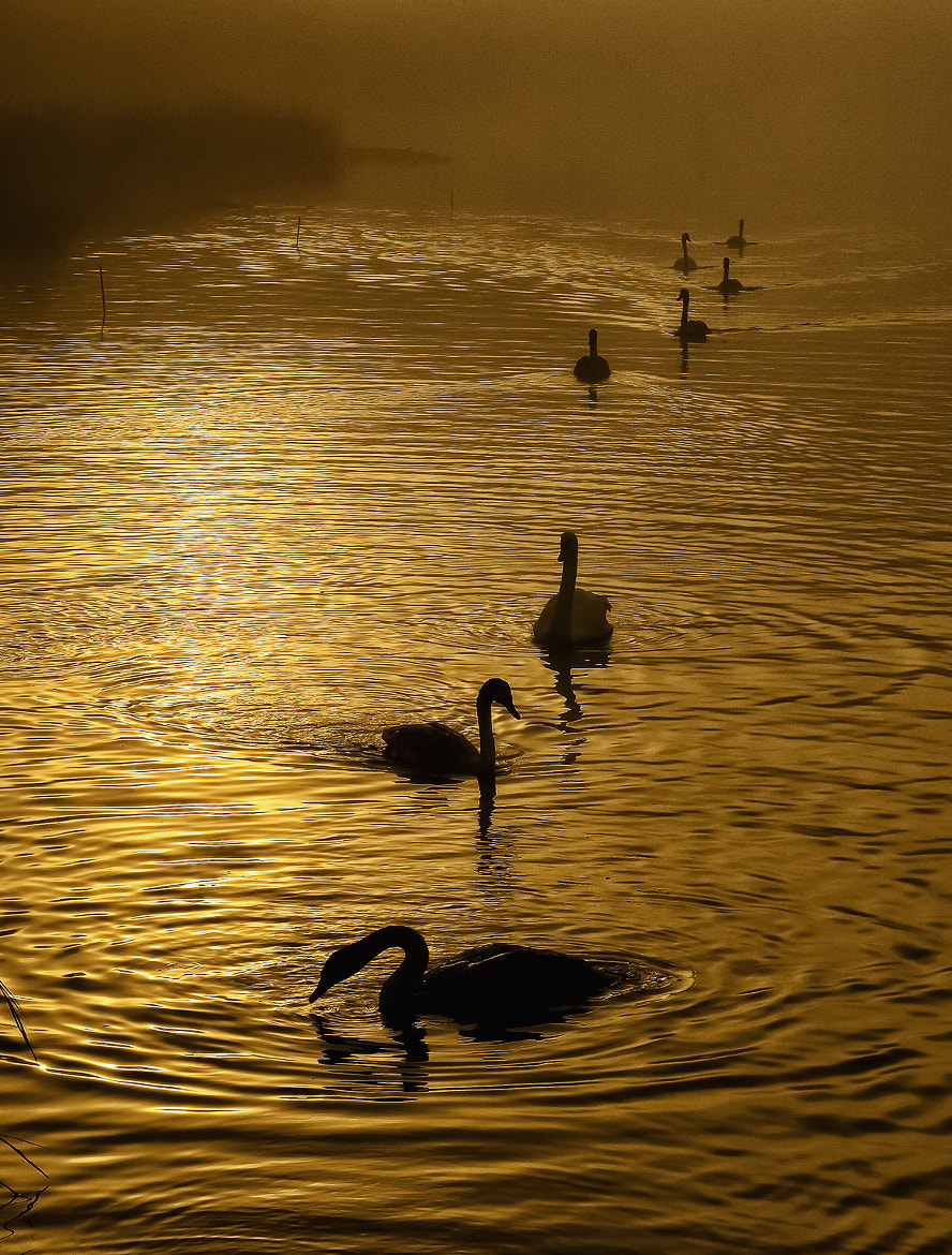 Photograph Eight Swans by Dave Wright on 500px