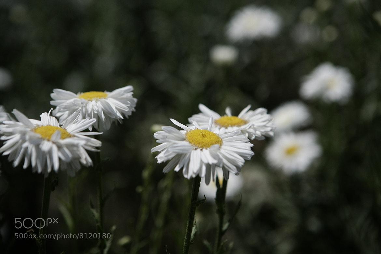 Photograph White flowers by Josefina Macchia on 500px