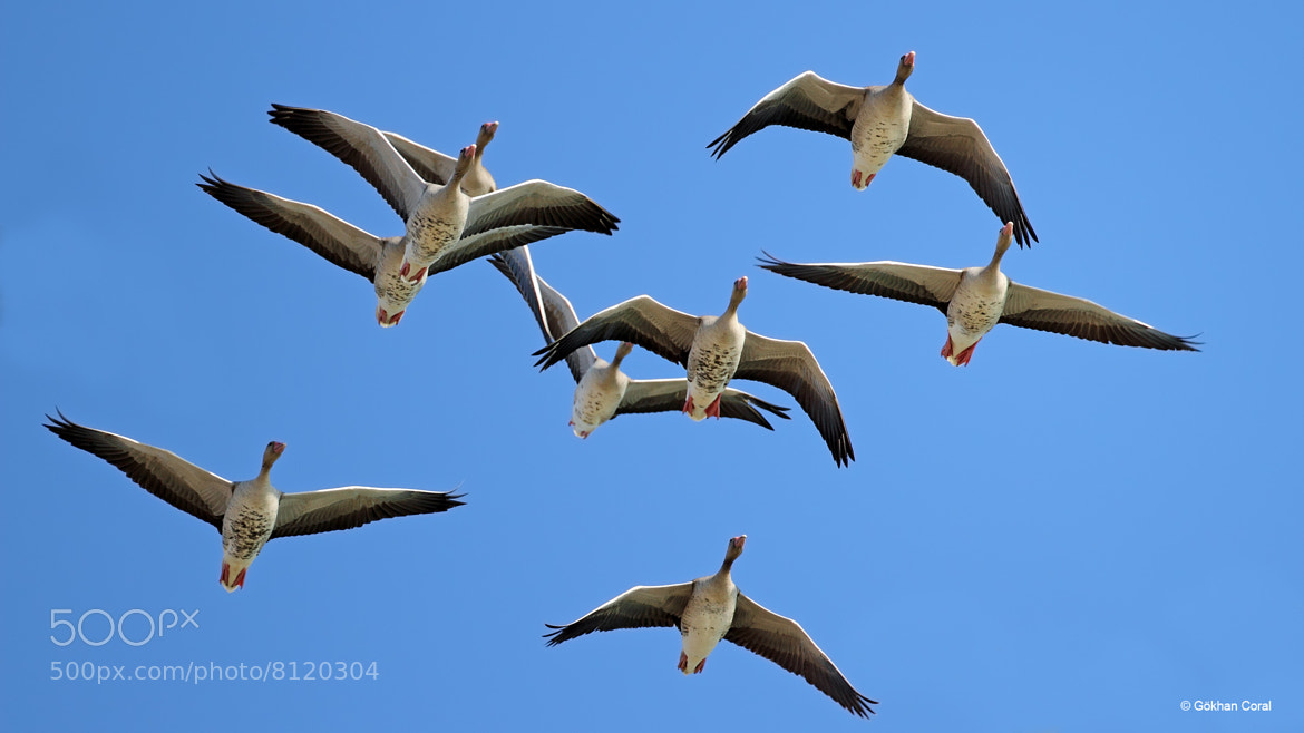 Photograph Greylag goose by Gökhan CORAL on 500px