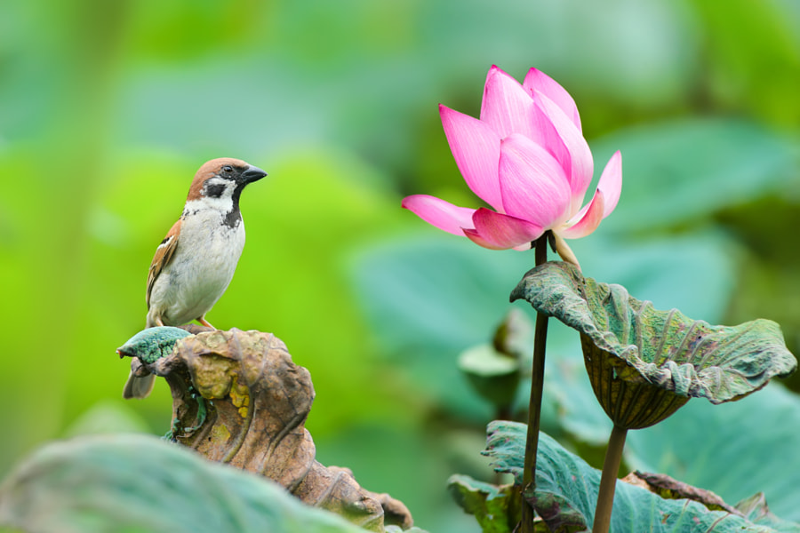 Sparrow and Lotus