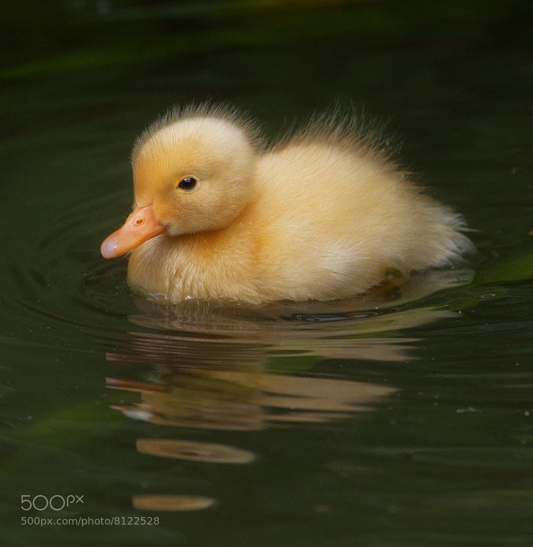 Photograph Albino Mallard Duckling by Sue Demetriou on 500px