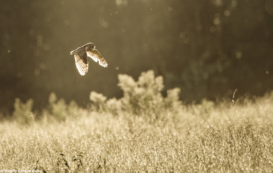 Photograph Short-eared Owl (Asio flammeus) by Octavio Campos Salles on 500px
