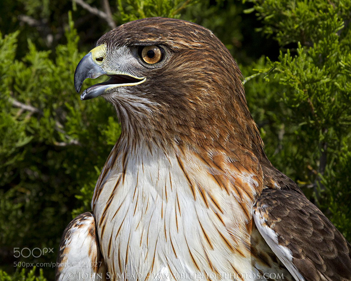 Photograph Red Tailed Hawk by John Mead on 500px
