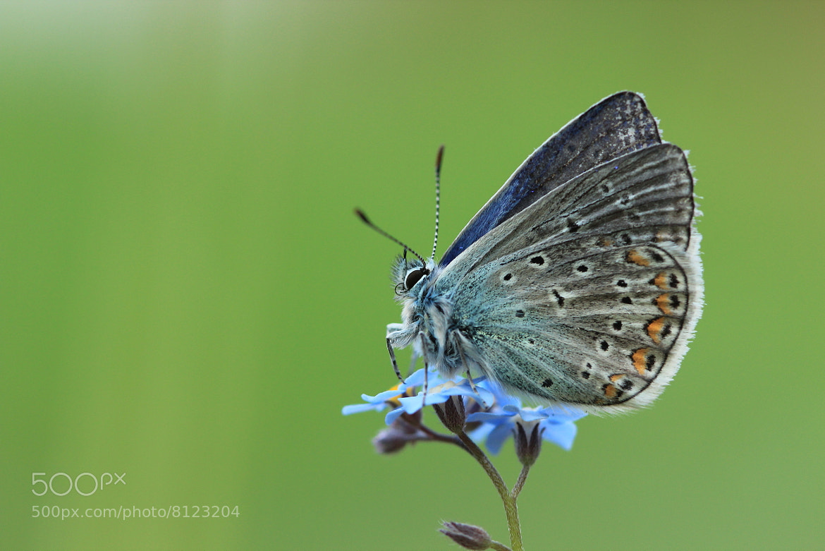 Photograph  Polyommatus icarus by Jonas Merkelbach on 500px