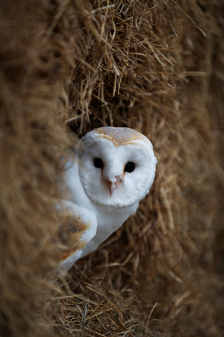 Photograph Barn Owl by Steven Parker on 500px