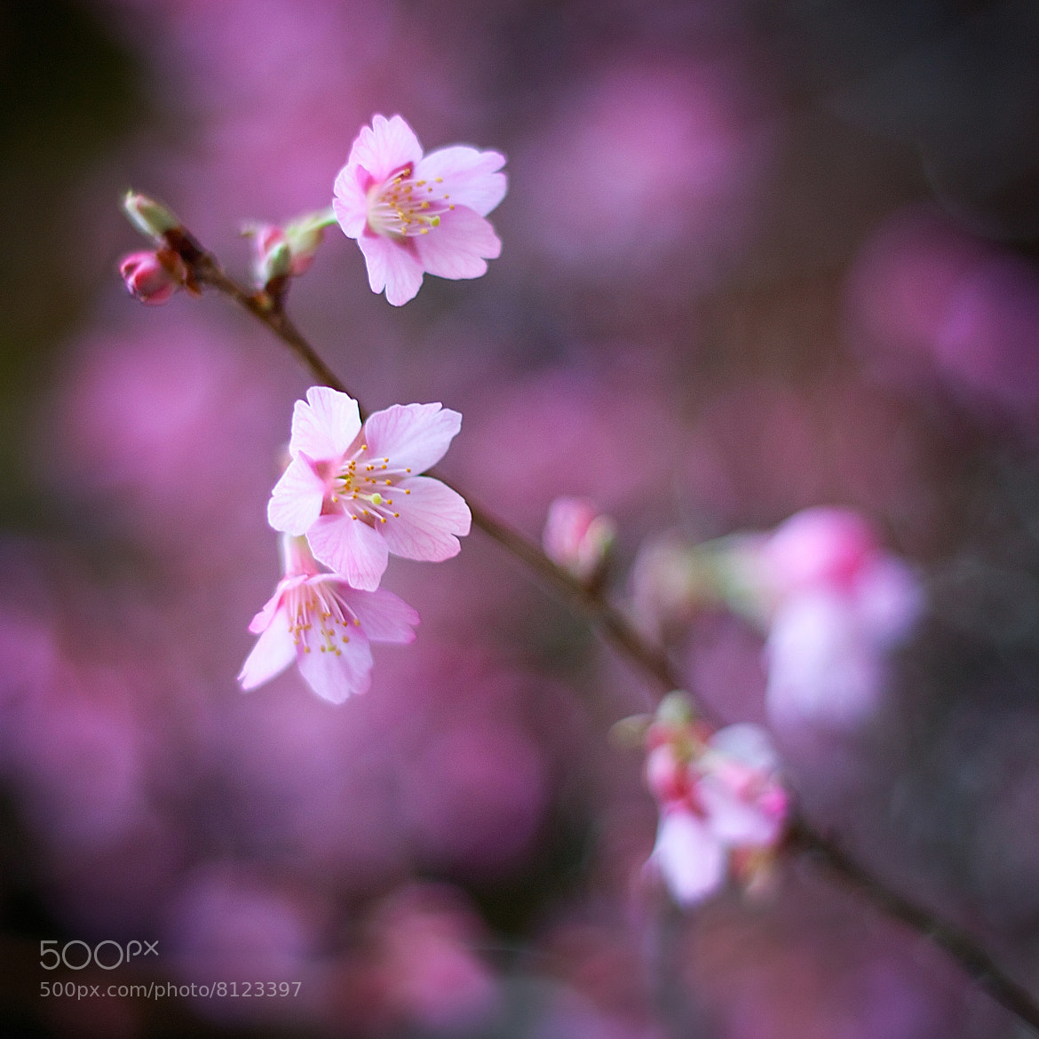 Photograph Cherry Blossom by Daniele Delgrosso on 500px