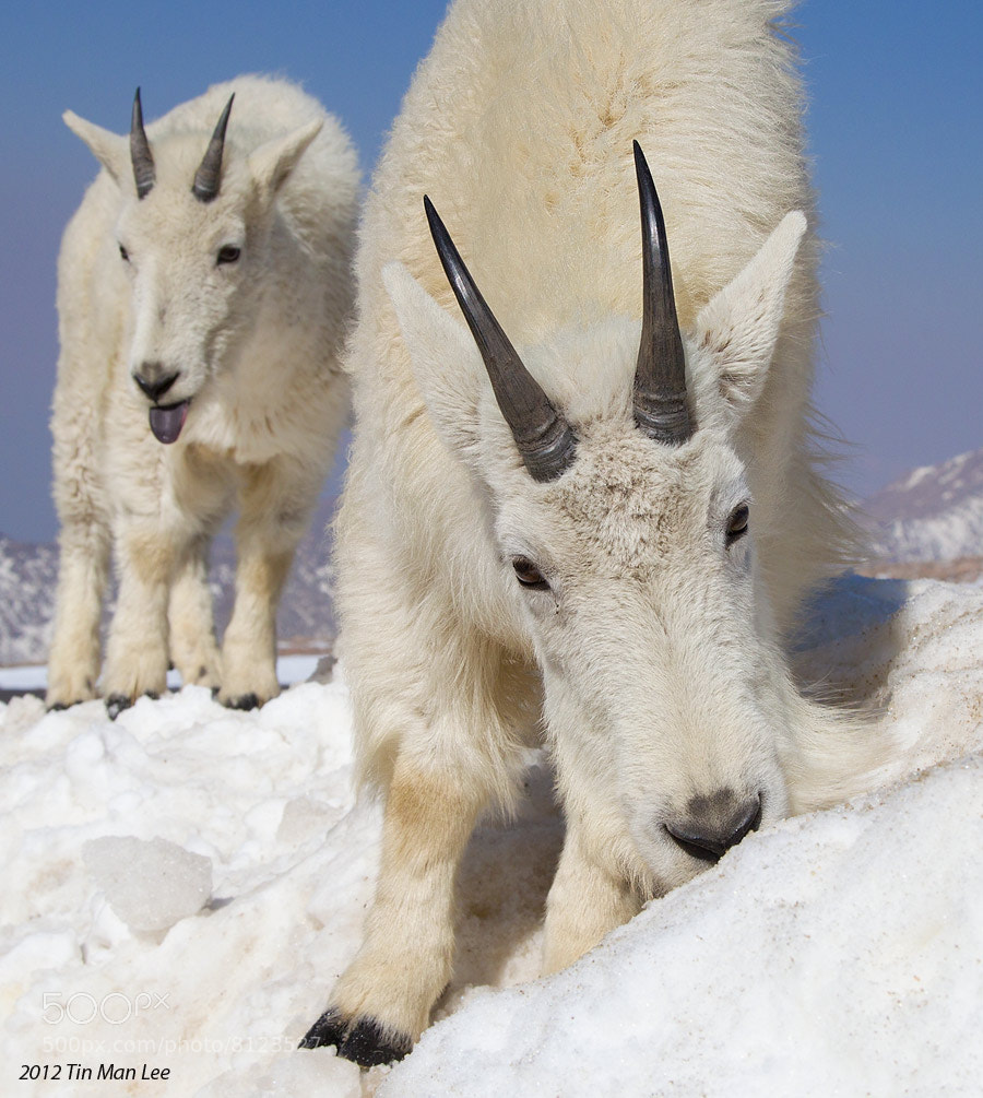 Photograph Mountain Goats Feeding and Making Face by Tin Man on 500px
