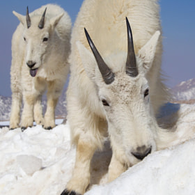 Mountain Goats Feeding and Making Face by Tin Man (tinman)) on 500px.com