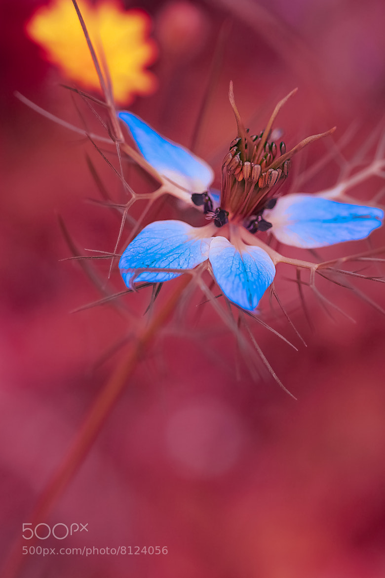 Photograph 4 blue petals... by L'Oiseau Rose on 500px