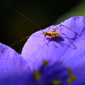 Mini cricket & Tradescantia reflexa by Franco Mottironi (francomottironi)) on 500px.com