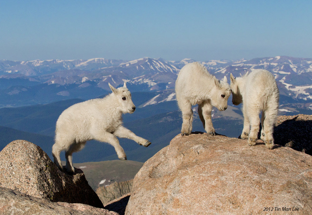 Photograph Mountain Goat Kid Jumping Again by Tin Man on 500px