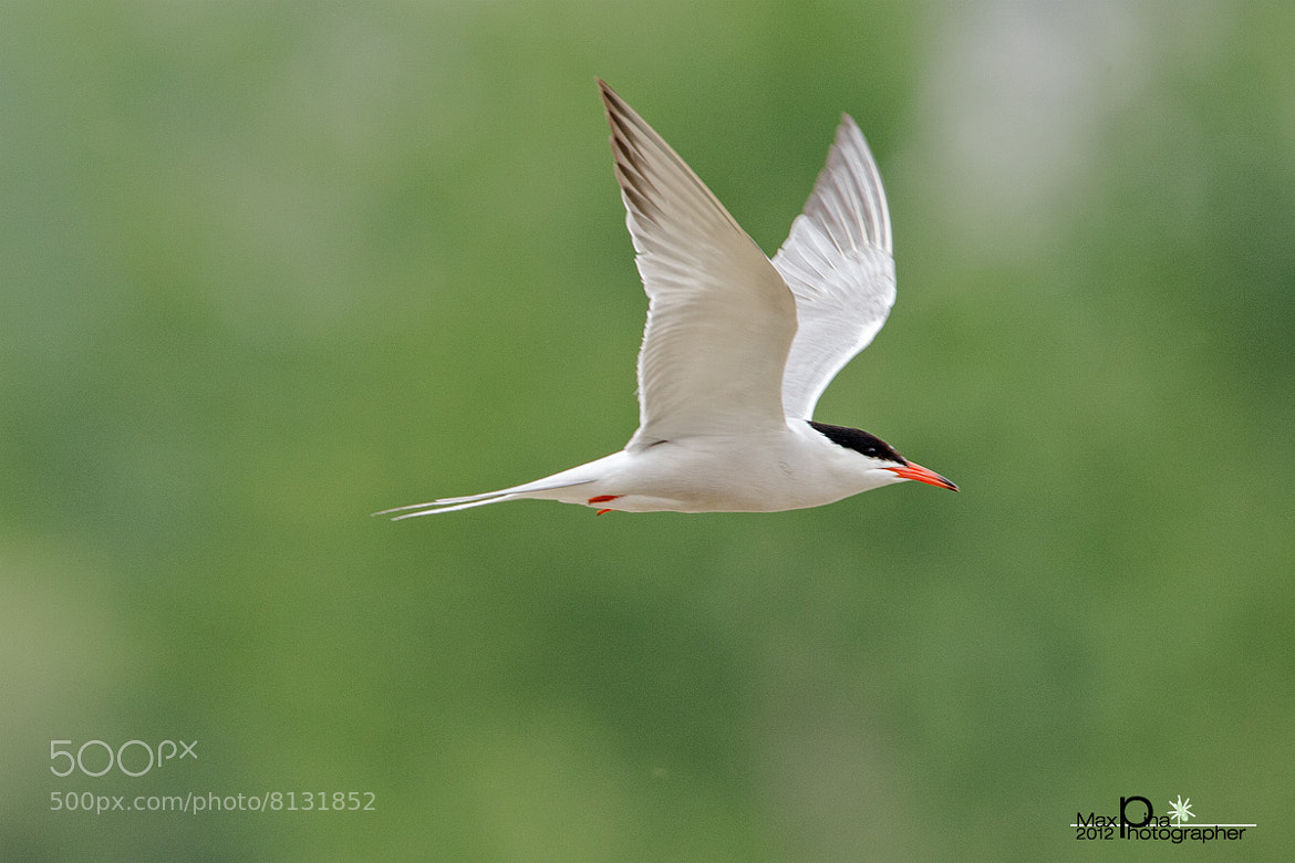 Photograph Tern hunting by Massimo Dadone on 500px