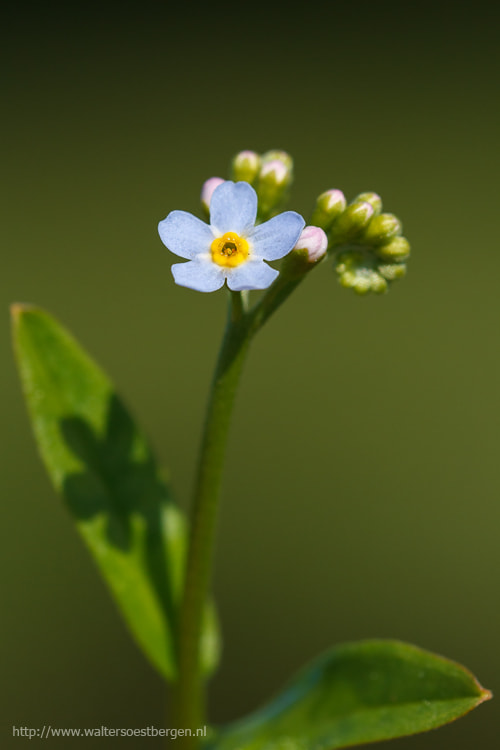 Photograph Forget-me-not by Walter Soestbergen on 500px