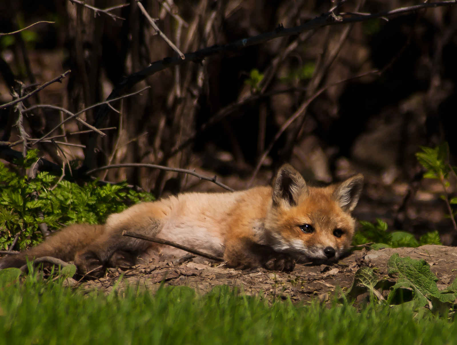 Photograph Relaxing fox by Andre Garant on 500px