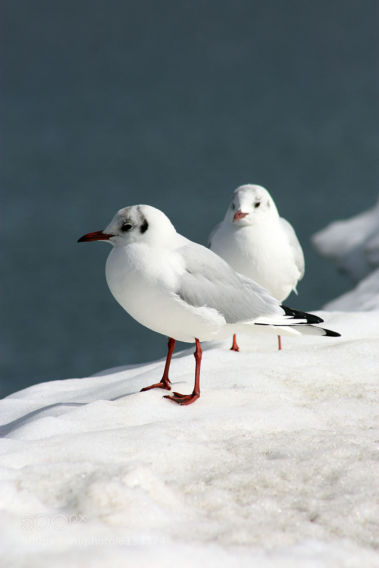 Photograph White seagulls by Vlada Polischuck on 500px