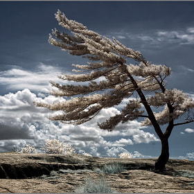 Lone Pine by Frank Lemire (Syncros) on 500px.com