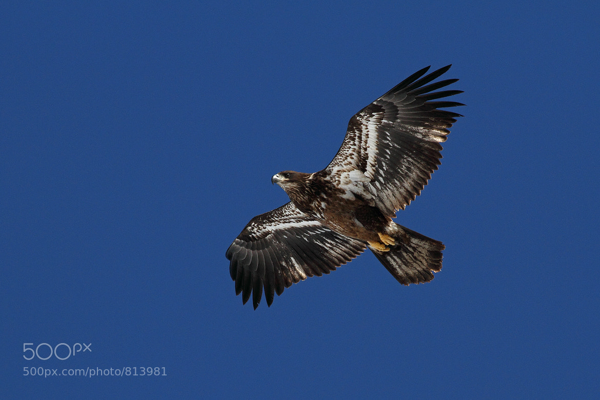 Photograph Immature Bald Eagle by Rusty Wood on 500px